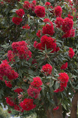 Red Flowering Gum (Corymbia ficifolia) blossom in a garden  Tasmania  Australia