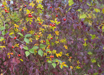Dog rose (Rosa canina) and Common Dogwood (Cornus sanguinea) in autumn  Regional Natural Park of Northern Vosges  France