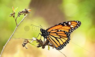 Monarch Butterfly (Danaus plexippus) on twig