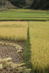 Rice Harvest in Imerina  Antsirabe Region  Madagascar