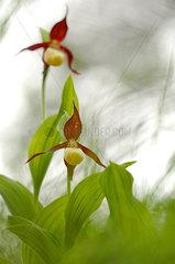 Ladies slipper Orchid (Cypripedium calceolus) flowers  Vercors  France