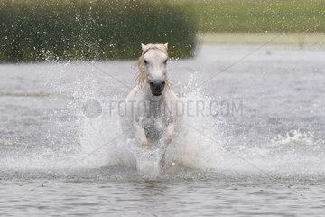 Horse running in the water  Bashang Grassland  Zhangjiakou  Hebei Province  Inner Mongolia  China