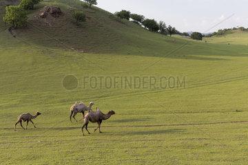 Bactrian camel (Camelus bactrianus)  Bashang Grassland  Zhangjiakou  Hebei Province  Inner Mongolia  China