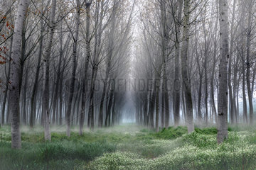 Fog in the poplar  Riva  Mantova  Italy
