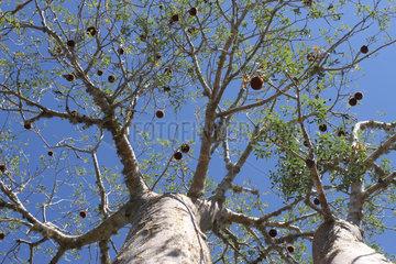 Two Baobab (Adansonia rubrostipa)  Ifaty  Province of Tulear  Madagascar