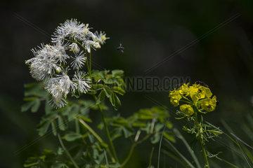 Meadow-rue (Thalictrum aquilegiifolium)  Nature Reserve Sixt-Fer à Cheval  Alps  France