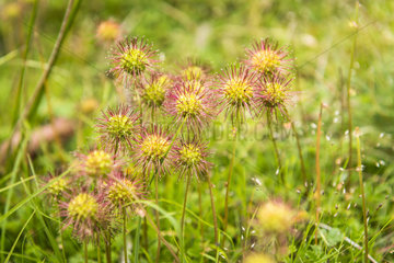 Buzzy Burr (Acaena magellanica) flowers  Cradle Mountain National Park - St Clair Lake  Tasmania  Australia