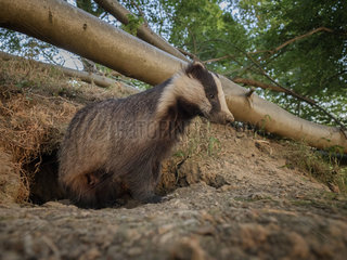 European Badger (Meles meles). A large sow emerges from the sett in the Peak District National Park  UK.