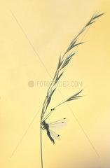 Owlfly (Deleproctophylla dusmeti) on grass