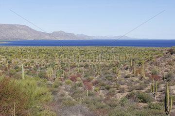 Mexican giant cactus or Mexican giant cardon (Pachycereus pringlei)  Baja California Sur  Mexico