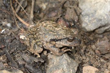 Black Spiny-chest Frog (Alsodes nodosus)  La Campana National Park  V Valparaiso Region  Chile