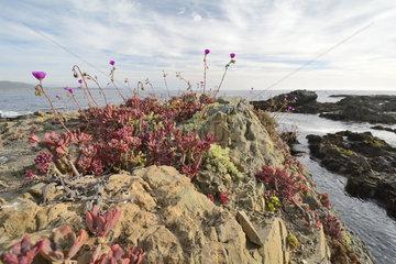 Pata de Guanaco (Cistanthe grandiflora)  on the Pacific coast  Los Molles  La Ligua  V Region of Valparaiso  Chile
