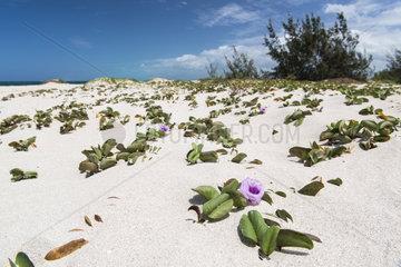 Beach Morning Glory (Ipomoea pes-caprae)  Tenia Islet Marine Reserve  West Lagoon. New Caledonia.