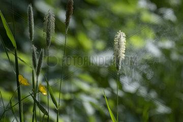 Meadow Fowtail (Alopecurus pratensis) pollen release in wind  Lorraine  France