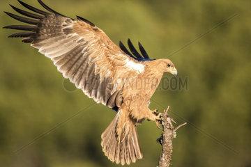 Spanish imperial eagle (Aquila adalberti) landing  Cordoba  Spain