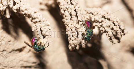 Golden wasps (Chrysis mediata) busy in front of Eumenid Wasp's galleries (Odynerus spinipes) to parasitize them  Regional Natural Park of Northern Vosges  France