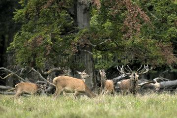Red Deer (Cervus elephus)  slab  Dyrehaven  Denmark
