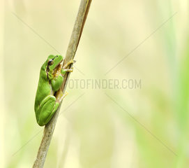 Tree frog (Hyla arborea) on reed  Alsace  France