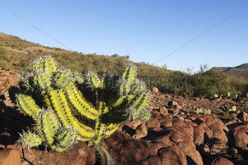 cacti in semi desert landscape  Sierra San Francisco  Baja California Sur  Mexico