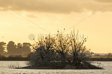 Great cormorant (Phalacrocorax carbo) groupe at dusk  Tablas de Daimiel National Park  Spain