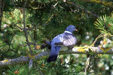 Wood Pigeon (Columba palumbus) on a branch  Ploemeur  Morbihan  Brittany  France