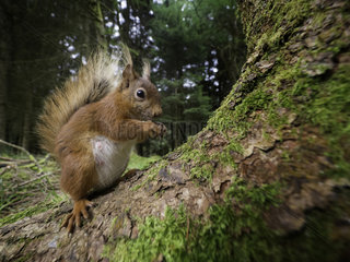 Red Squirrel (Sciurus vulgaris). A Red Squirrel perches perfectly whilst eating nuts in the woodlands of Yorkshire  UK.