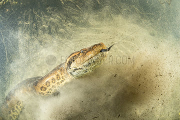 Green anaconda  (Eunectes murinus)  the largest snake in the world  female can reach impressive proportions; over 6 m in length  30 cm in diameter and more than 200 kg. Formoso River  Bonito  Mato Grosso do Sul  Brazil. 1st place  jury price  Montier en der festival 2018.