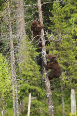 Brown bear (Ursus arctos)  cubs climbing in a pine tree near a potential danger in the heart of the forest  Finland