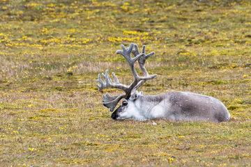 Svalbard reindeer (Rangifer tarandus platyrhynchus) adult male lying in the tundra in Spitsbergen