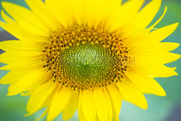 Sunflower (Helianthus annuus) plantation  Cuestahedo  Merindad de Montija  Merindades  Burgos  Castilla y Leon  Spain
