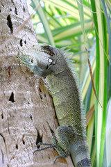 Common iguana (Iguana iguana) on a coconut trunk  Club Med beach  Saint Anne  Guadeloupe