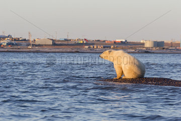 Polar Bear( Ursus maritimus ) near the water edge along a barrier island outside Kaktovik  Every fall  polar bears (Ursus maritimus) gather near Kaktovik on the northern edge of ANWR  Barter Island  Arctic National Wildlife Refuge  Alaska
