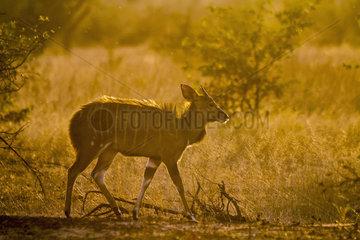 Cape bushbuck (Tragelaphus sylvaticus) in Kruger National park  South Africa