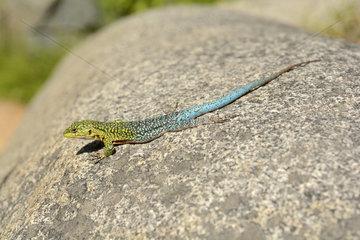 Jewel lizard (Liolaemus tenuis) Male  Sector Cajón Grande  National Park La Campana  V Region of Valparaiso  Chile