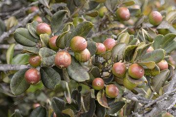 Lucumo (Pouteria splendens)  fruit  Puquen Nature Reserve  Los Molles  La Ligua  V Region of Valparaiso  Chile