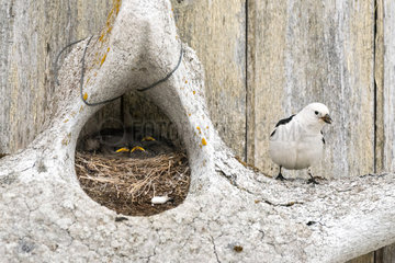 Snow Bunting (Plectrophenax nivalis) adult male feeding its chicks in a nest built in a whale vertebra  Svalbard