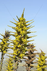 Chilean Puya (Puya chilensis) endemic to Chile  Spring Flowering  Cerro Mauco  Quintero  V Valparaiso Region  Chile