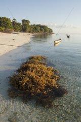 Agar Agar Seaweed harvesting - Kangge Island Alor Indonesia