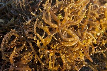 Agar Agar Seaweed - Kangge Island Alor Indonesia