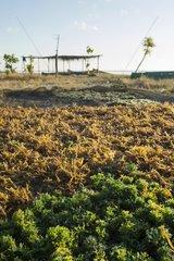 Agar Agar Seaweed drying - Kangge Island Alor Indonesia