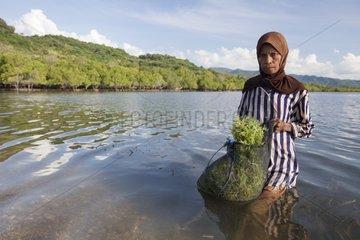 Agar Agar Seaweed collecting - Kangge island Alor Indonesia