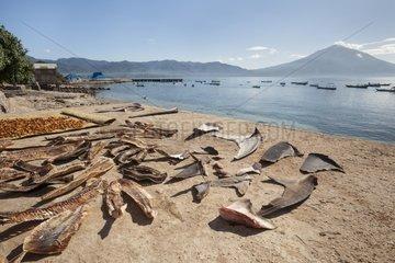 Shark fins and Manta gills drying - Lamakera Solor Indonesia