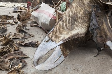 Mobula ray fins for chinese medicine - Solor Indonesia
