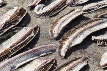 Manta gills drying - Solor Indonesia