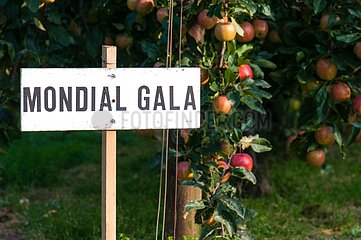 Apple tree 'Mondial Gala' in fruit in an orchard