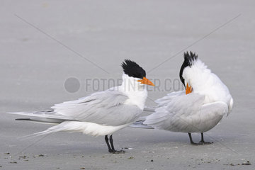 Royal tern (Thalasseus maximus)  Courtship ritual  Magdalena Bay (Madelaine Bay)  Puerto San Carlos  Baja California Sur  Mexico