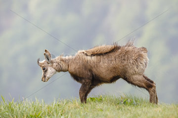 Chamois (Rupicapra rupicapra) snorting on the meadow of Hohneck in spring  Alsace  France