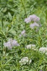 Meadow rue (Thalictrum aquilegifolium) flowers  Savoie  France