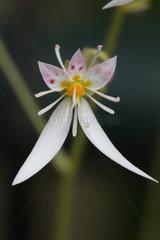 Creeping saxifrage (Saxifraga stolonifera) flower