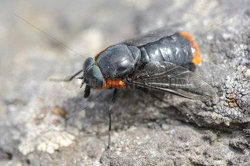 Black Horse fly (Scaptia lata)  Vicente Perez Rosales National Park  X Lake District  Chile